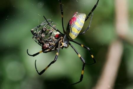 Cannibalization(silk_spider)